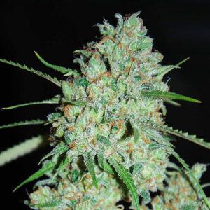Afghan Fem Seeds For Sale Online - Legal Weed Store Plug